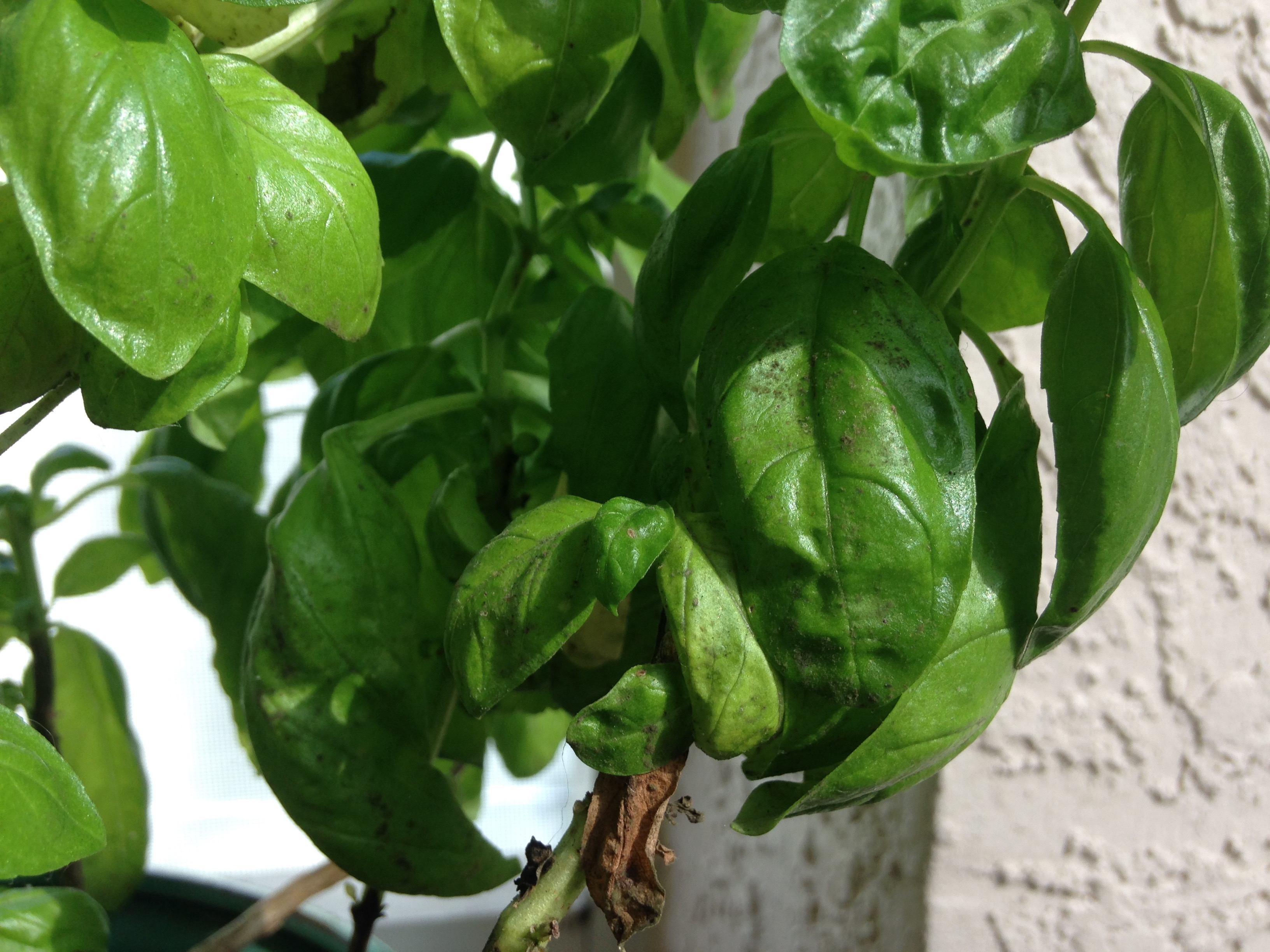 Basil damaged by Thrips